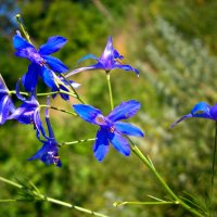 Лютики-цветочки :: Лариса Коломиец