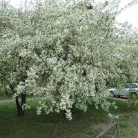 Яблони в цвету - какое чудо! :: Галина