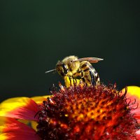 пчела :: Dorian Gray