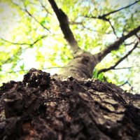 Кора дерева :: Наталья Сысалетина
