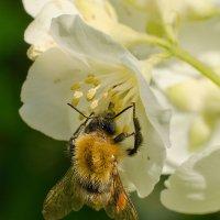 Пчелка :: Татьяна