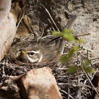 Дрозд белобровик (Turdus iliacus) на гнезде :: Григорий Кинёв