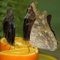 Бабочки :: Екатерина Малащенкова