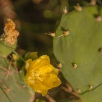 Цветок кактуса :: susanna vasershtein