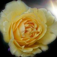 роза :: Юрий Пожидаев