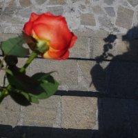 Роза. :: Надежда Судакова