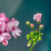 Как роза :: Ирина Яздан Мехр