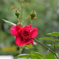 Розовое настроение 3 :: Константин Сафронов