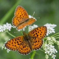 Бабочки :: Ирина Федорова