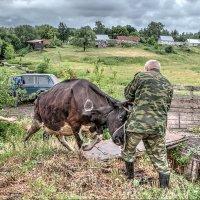 Погрузка коровы :: Анатолий Евстропов