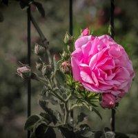 Розовая роза. :: Nonna