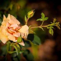Королева цветов. :: Nonna