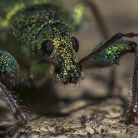 гламурный жук :: Соня Орешковая (Евгения Муравская)