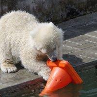 маленькая медведица ( Шилка )) :: Борис