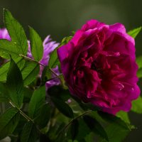 Дикая роза :: Ольга Винницкая