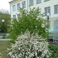 Весне все кустики покорны! :: Галина