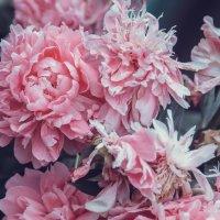 Розы :: Кристина Кот