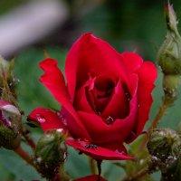 Роза после дождя. :: Анатолий Сидоренков