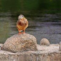 Утка которая специально стоя на камушке позировала мне как фотомодель :: Анатолий Клепешнёв
