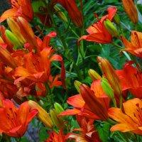 Лилии цветут. :: Антонина Гугаева
