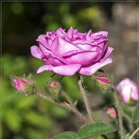 Розовая роза :: Любовь Потеряхина