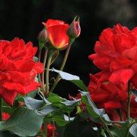 Красные розы! :: Николай Кондаков