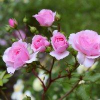 Розы :: Виктор