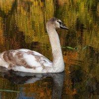Жизнь лебедя :: Anastasiya Cholovskaya