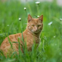 Лесной кот ... :: Сергей Кубрак