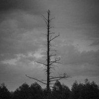 Старое дерево :: Алексей Хоноруин