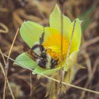 Пчелка и подснежник :: Алексей Хоноруин