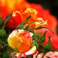 Роза на фоне розы :: Marina Timoveewa