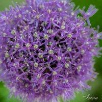 Луковый цветок :: Ирина Бахирева