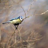Птичка-синичка. :: Анна Тихомирова