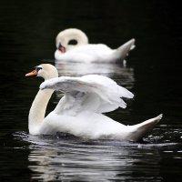 Мечта лебедя. :: Анна Тихомирова