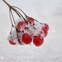 Капельками красными –   На снегу калина :: Мария Исаева