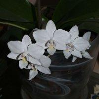 Орхидея=* :: NIKA_BS *