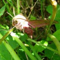 Розовый мотылек. :: Виктория Чурилова