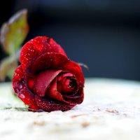а роза упала..... :: Марина Брюховецкая