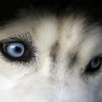 Blue eyes husky :: Света Гончарова