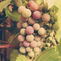 Виноград :: Lilia Kamalova