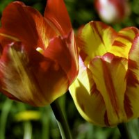 Тюльпаны :: Анастасия Созинова