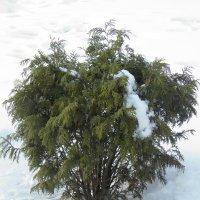 Туя в снегу :: Александр Кузин