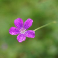 полевой цветок :: Елена Сазонтова