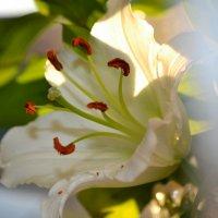 лилия :: анжелика богданова