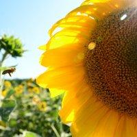 пчелка в облете :: анжелика богданова