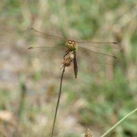 Dragonfly :: Викуля Шайпак