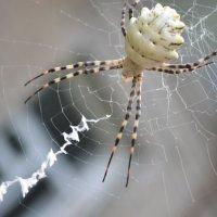 паук :: анжелика богданова