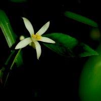цветок лимона :: Марина Брюховецкая