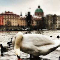 Пражские лебеди :: Vadim Zharkov